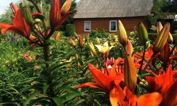 Ciemos: selekcionāra cienīgs liliju un rožu dārzs Ziedu ielā