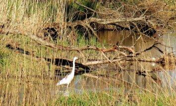 Foto: Tukuma ezera senlejā pamana balto gārni
