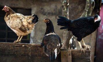 Putnu gripa Latviju varētu sasniegt pavasarī, brīdina PVD