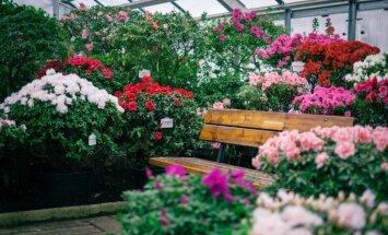 Aicina uz izzinošu ekskursiju 'Botāniskā dārza ziedošie stāsti: acālijas'