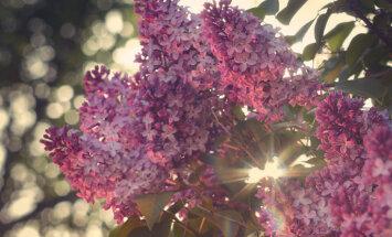 Saldo ziedu nostalģija – ceriņi un to audzēšana pagalmā