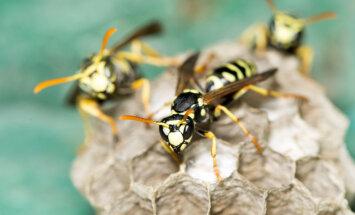 Nelūgtie viesi: Kā cīnīties ar uzmācīgajām lapsenēm?