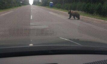 Kārsavas novadā uz ceļa pamanīts brangs lācis