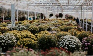 Rudens māksla siltumnīcā: kā audzē mārtiņrožu stādus Cēsu pusē