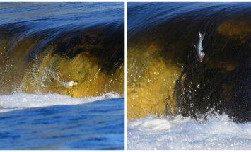 Ventas rumbā sācies dabas pavasara šovs – Kuldīgā jau lido zivis