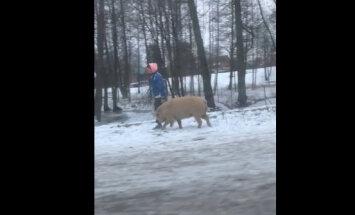 ВИДЕО: Женщина выгуливает в Риге огромную свинью, которая ведет себя как собака