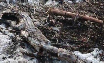 Video: Čuvašijas skolēni izgāztuvē atrod beigtu krokodilu