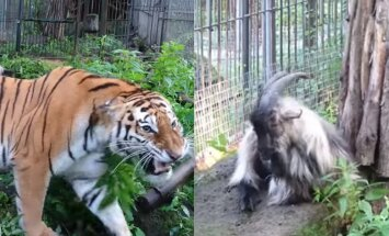 Vēsture atkārtojas – Krievijā tīģeriene sadraudzējusies ar āzīti