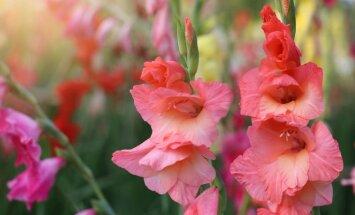 Skaisti un bīstami: indīgi augi, kas sastopami teju katrā dārzā