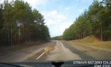 Stindzinošs video: Stirna izlec uz ceļa braucoša auto priekšā