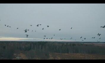 Lielais pārlidojums: zosu atgriešanās Koknesē fiksēta skaistā video