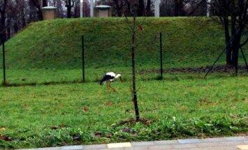 Foto: Raunas centrā pastaigājas Latvijā 'aizķēries' stārķis