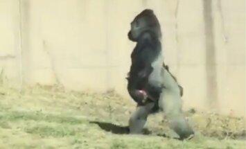 Neparasts video: Tīrīga gorilla staigā uz divām kājām