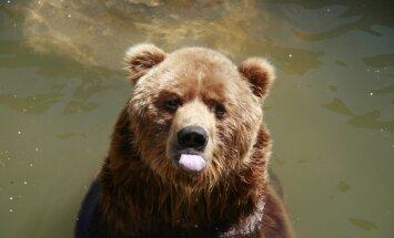 Latvijā šogad uzturējušies vismaz desmit lāči