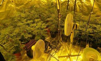Trīs gadu laikā Latvijā atklātas gandrīz 100 marihuānas audzētavas