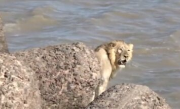 Video: No Arābijas jūras izglābta nomaldījusies lauva