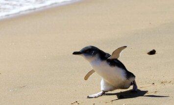 pingvīns, pinguin