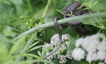 Divus bērnus aizvadītajā diennaktī sakodušas čūskas