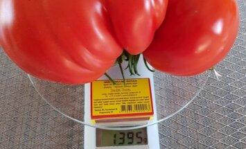 Milzīgs tomāts vai gurķis? Padižojies 'Delfi Aculieciniekam' ar brango šīsvasaras ražu!