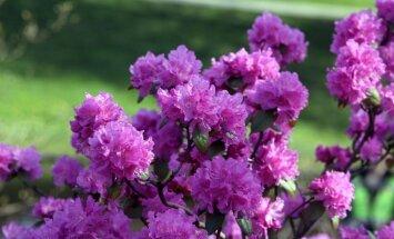 Foto: Operas dārzā atklāta īpaša rododendru dobe