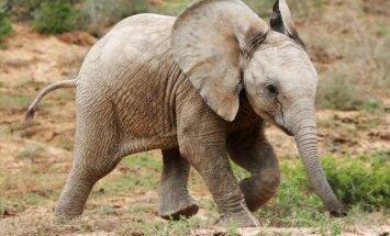 Neatsakās no ieceres Rīgas Zoodārzā būvēt ziloņu māju