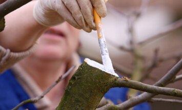 Dārza darbiem labvēlīgs laiks – augļu koku kaļķošana un aptīšana