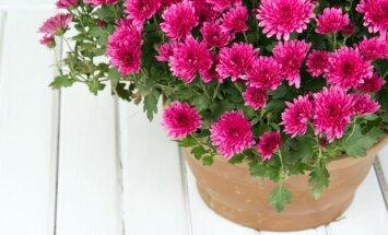 Tautas padomi, kā saglabāt mārtiņrozes stādīšanai dārzā