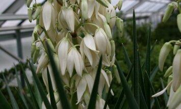 Foto: LU Botāniskajā dārzā baltiem ziediem uzplaukusi alojlapu juka