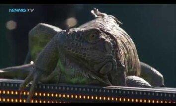 ВИДЕО: Игуана пришла посмотреть в Майами на хороший теннис
