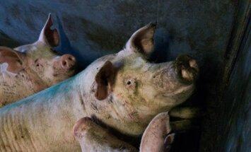 На ликвидацию больных свиней на Druvas Unguri из госбюджета выделили 367 000 евро