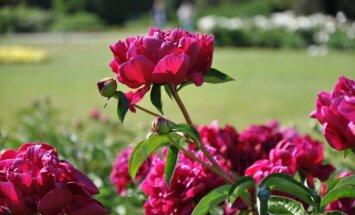 Foto: Raibās peoniju ziedu kupenas Salaspilī