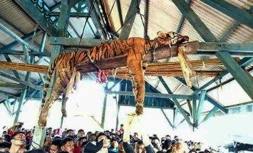 Māņticīgi sumatrieši nogalina un pie griestiem pakar apdraudētas sugas tīģeri