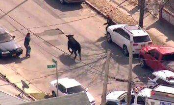 ВИДЕО: Полиция два часа гонялась за быком, терроризировавшим жителей города