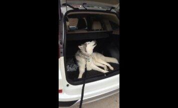 Video: Ietiepīgais haskijs Zevs sēž bagāžniekā un uzstājīgi gaudo