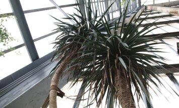 LU Botāniskajā dārzā pirmo reizi 45 gadu laikā uzziedējis pūķkoks