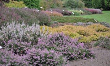 Fotopastaiga pa violeti pielietajām viršu takām Salaspils botāniskajā dārzā