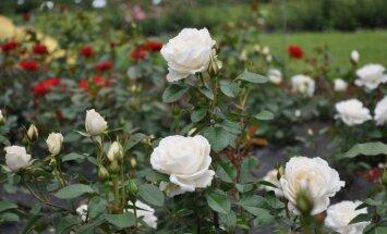 Foto: Graciozo rožu ziedēšana Salaspils botāniskajā dārzā