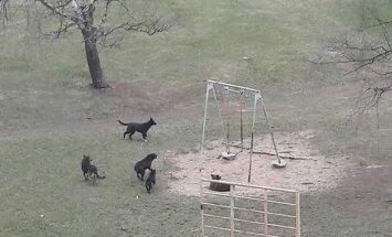 """ФОТО: Свора бродячих собак """"терроризирует"""" жителей Даугавгривы; рейды полиции не помогают"""