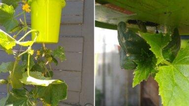 Pieredzes stāsts: Kā audzēt gurķus saknēm gaisā