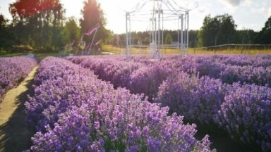 ФОТО. Шесть мест в Латвии, где вы можете полюбоваться на прекрасные лавандовые поля