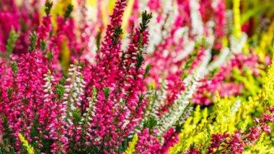 Rudens romantika dārzā – virši. Padomi auga pareizai stādīšanai un audzēšanai