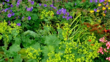 10 ilgi ziedošas ziemcietes, kas neprasa priekšzināšanas dārzkopībā
