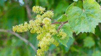 Rūpes par vīnogām ziedēšanas laikā