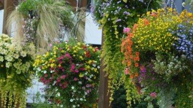Puķes iekarināmos podos un toveros – kā pareizi kopt