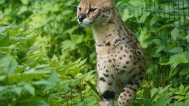 ФОТО. В Рижском зоопарке появились новые обитатели – дикие кошки с самыми большими ушами и самыми длинными ногами