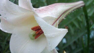 Graciozā un aromātiskā Taivānas lilija, kas aug arī dārzos Latvijā
