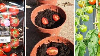 Pieredzes stāsts: kā no pārgrieztiem veikala tomātiem izaudzēt ražu