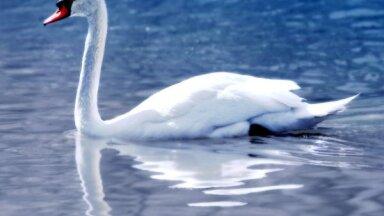 В Латвию впервые пришел птичий грипп: на пляже в Дзинтари найдены мертвые лебеди