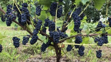 Lai nākamgad būtu bagātīga raža: kā rūpēties par vīnkokiem rudenī