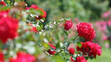 Спутник розы: 8 лучших цветов-компаньонов для роз